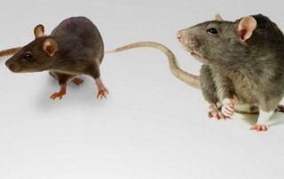 Rat et souris