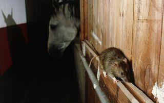 invasion de rats