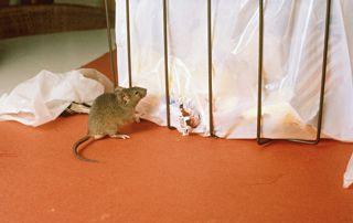 souris rongeant un sac poubelle