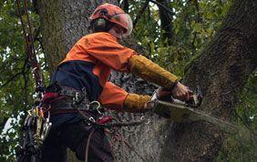 élagueur coupant des branches mortes