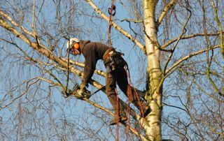 Elagage dans un arbre