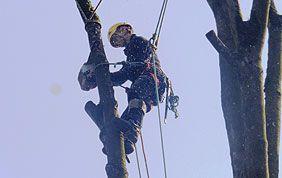 élagueur-grimpeur au travail