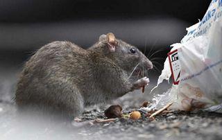 rat qui grignote un sac poubelle