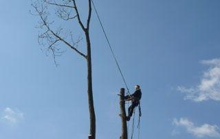 Taille d'arbre en hauteur