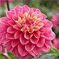 santoline rose