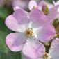 Fleur à 5 pétales blanches et mauves