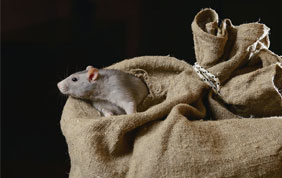 rat qui sort d'un sac