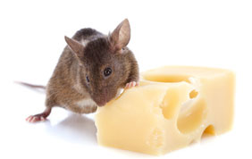 rat qui grignote du fromage