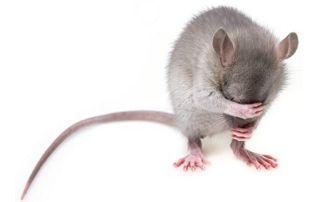 Rat gêné par dératisation par ultrasons