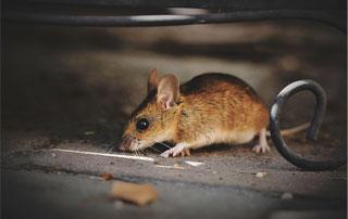 souris dans sa cachette