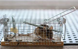 piège à rats