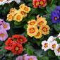 fleurs multicolores