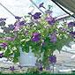 fleurs mauves en pot