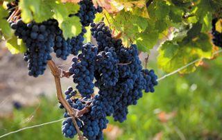 vigne avec raisin noir