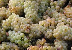 Le vin blanc d'Afrique du Sud