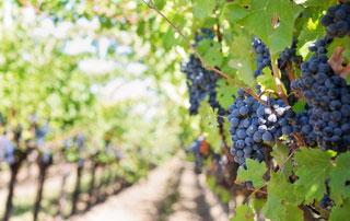 grappes de raisins rouges vignoble